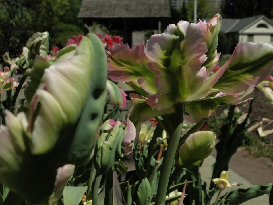 77-21apr12_3633_Botanical_garden_tulip