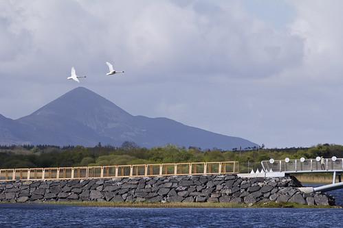 new bridge mountain lake bird landscape fly swan scenery lough flight mayo croaghpatrick castlebar fullard lannagh loughlannagh frankfullard