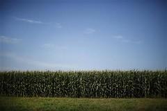 愛荷華州一處玉米田,節錄自路透社報導,Jason Reed攝。