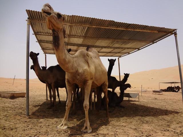 Quinta de Camelos no deserto do Oasis de Liwa, Abu Dhabi Emirados Arabes Unidos