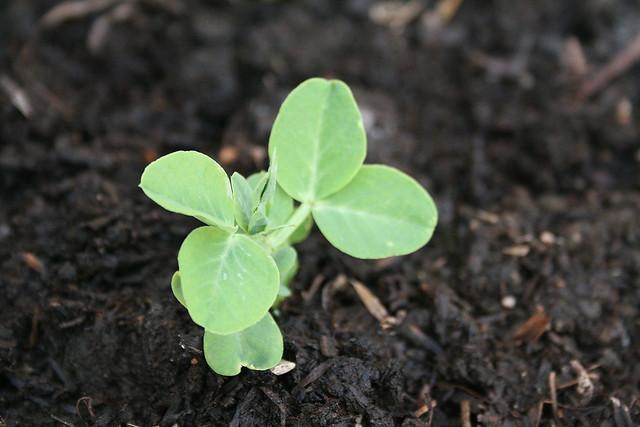 087 - snow peas