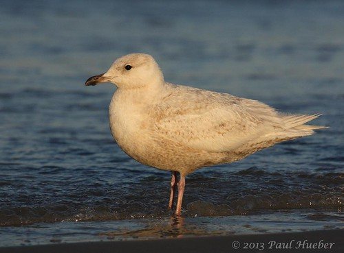 icelandgull larusglaucoides bird aves volusiacounty handheld ocean daytonabeach nature wildlife animal florida canon ebird orlando usa america unitedstates outside water h2o agua