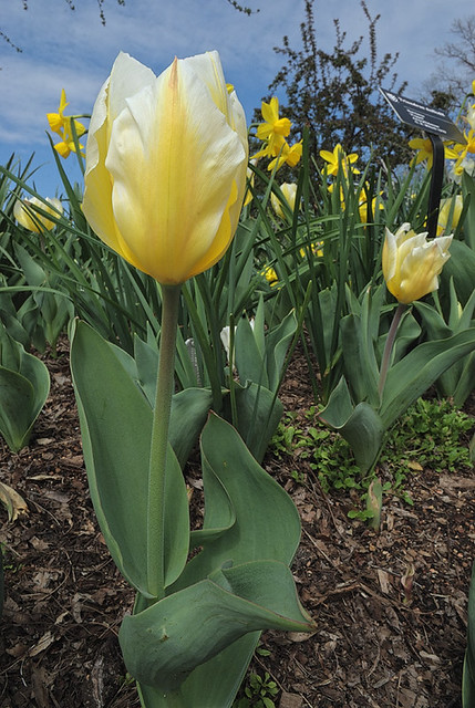 Missouri Botanical Garden (Shaw's Garden), in Saint Louis, Missouri, USA - yellow tulips