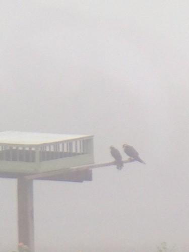 Aplomado Falcons