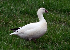 Ross Goose