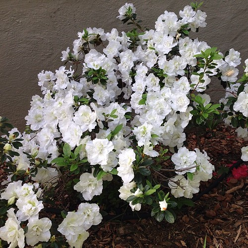 My azaleas are in full bloom.
