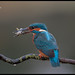 Kingfisher Male (Alcedo atthis) BBC Nature 16/04/2014