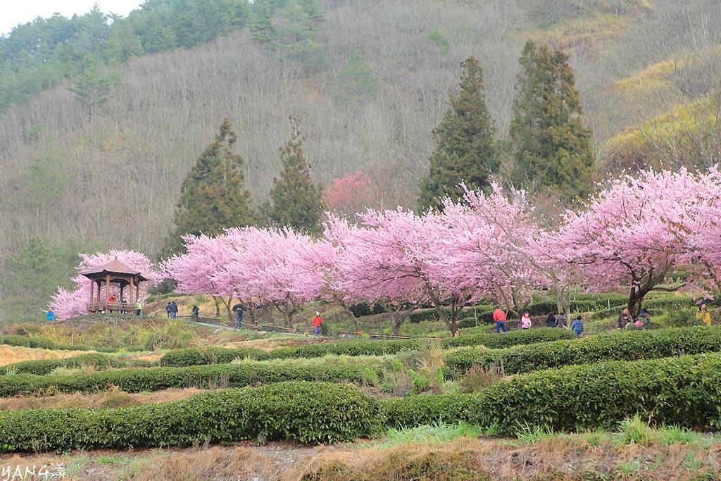 2012武陵賞櫻