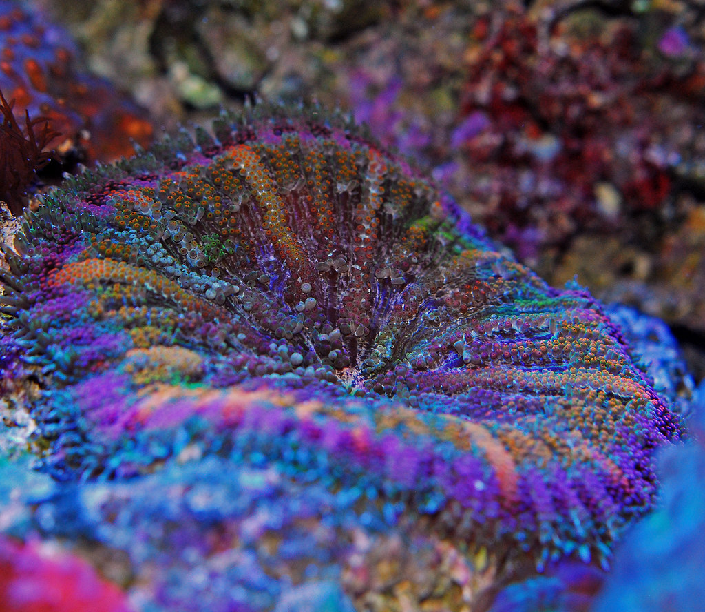 Carpet anemone bing images - Anemone species caring color refinement ...