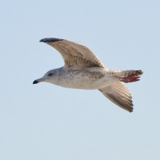 A Flying Seagull in Scheveningen