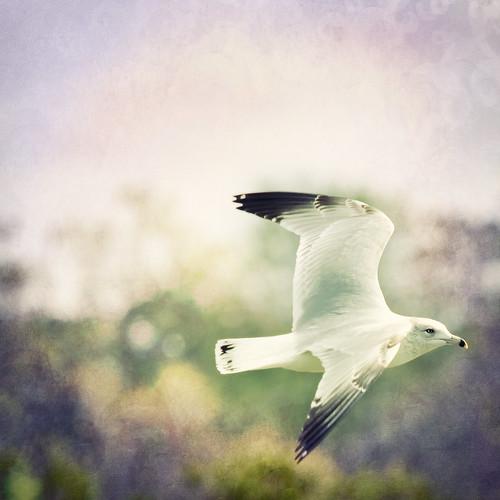 [フリー画像素材] 動物 2, 鴎・カモメ, 鳥類 - 飛ぶ ID:201203040400