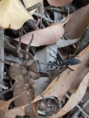 Wasp dragging spider to its burrow, Talbot Road Bushland, Western Australia