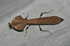 Deroplatys cf. truncata (Mantidae)
