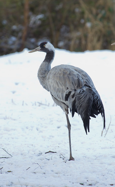 common crane in the snow