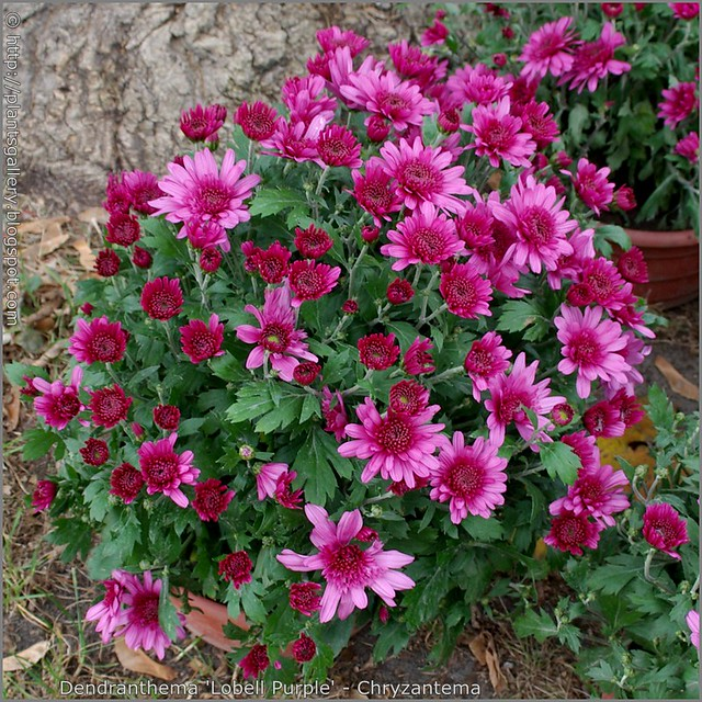 Dendranthema 'Lobell Purple' - Chryzantema