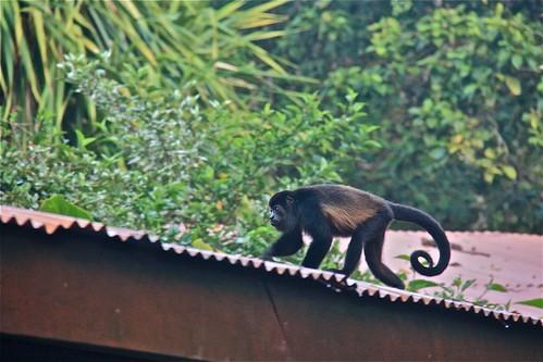 Howler Monkey 02