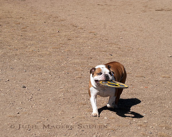 Bulldog Retrieves toy