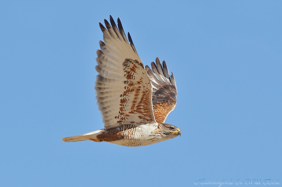 Ferruginous-Hawk-010612-8