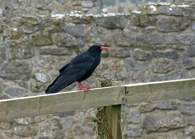 25674 - Chough, Port Eynon