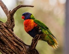 [フリー画像素材] 動物 2, 鳥類, ゴシキセイガイインコ ID:201203200400