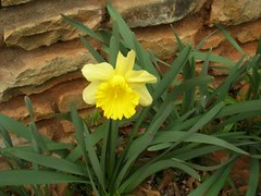 .single daffodil
