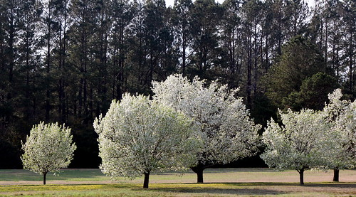 trees white flower canon landscape evening spring five northcarolina driveway 47 allee bradfordpear newbern t1i 112picturesin2012