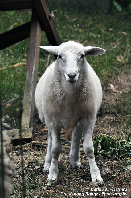 Bella, our lamb