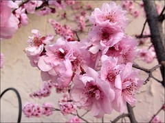 Plum blossoms in overdrive