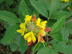 honeysuckle, evergreen, shrub, flower, leaf, yellow, plant, wildflower, flora,
