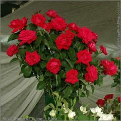 Rosa 'Dame de Coeur' - Róża