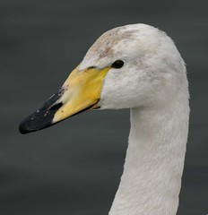 029Whooper Swan WCPS 23312 by davidearlgray