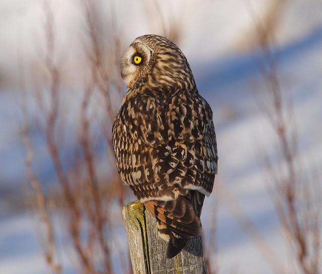 Short-eared owl 10 (brandugla), Olympus E-3, Sigma APO 50-500mm F4.0-6.3 EX DG HSM