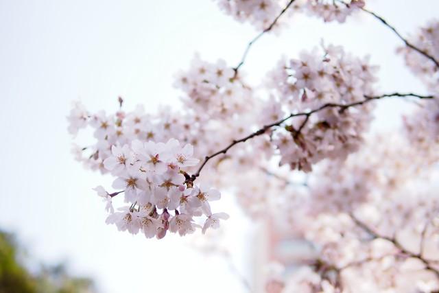 Sakura, gardenside
