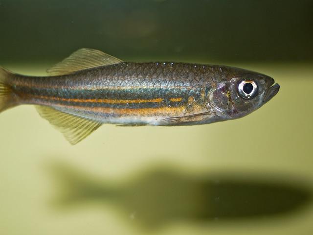 Photo for Giant danio fish