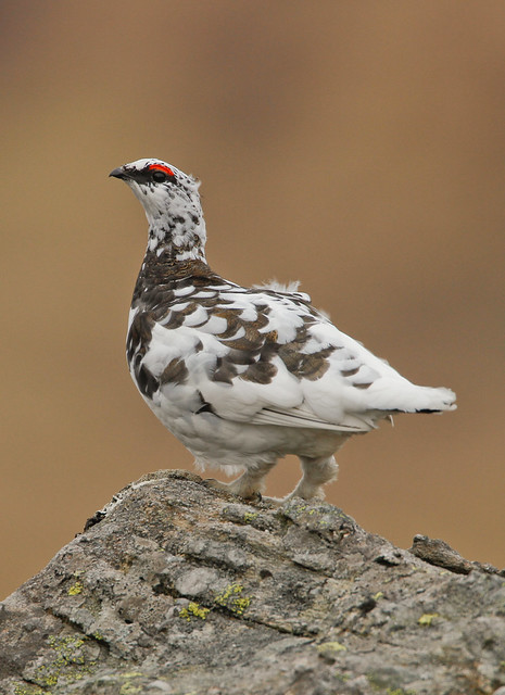 ptarmigan 500mm canon 4