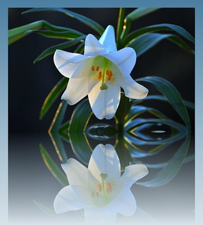 *Lovely*Easter*Lily*