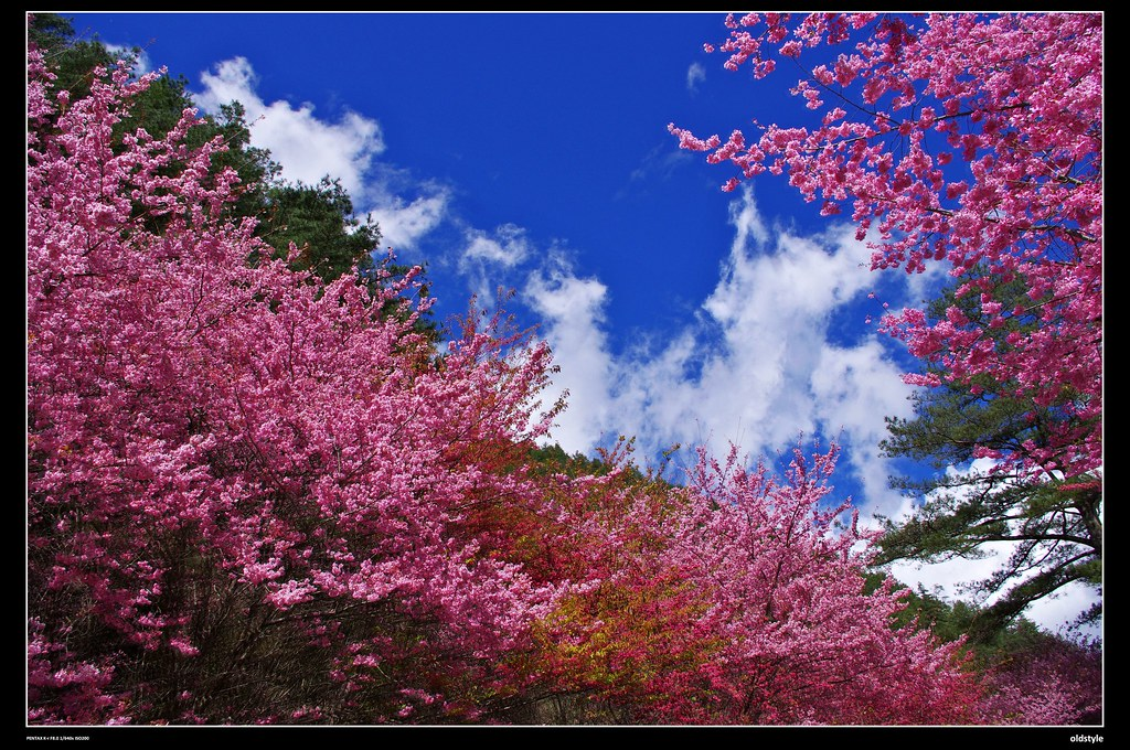第一次....武陵櫻花季
