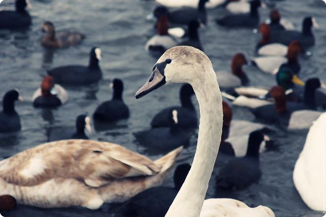 swans-24-2-12-07