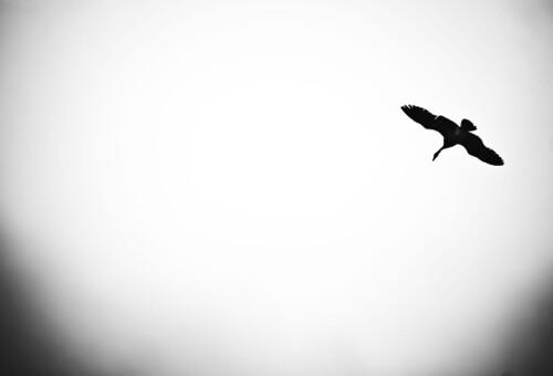 BIRD.OVERHEAD