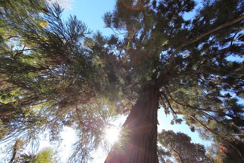 Japanese cedar / Cryptomeria japonica / 杉(スギ)