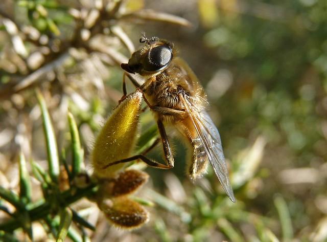 25595 - Bee, Dryslwyn