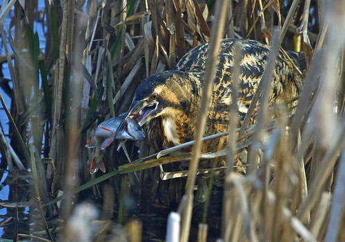 BITTERN with PERCH