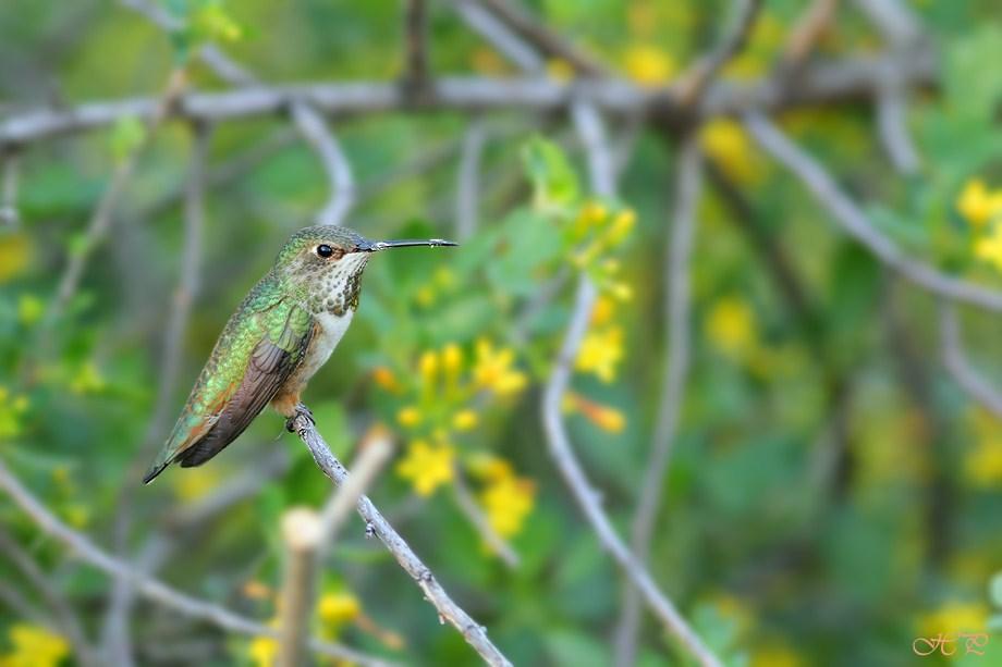 Allen's Hummingbird 030112-3