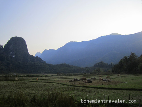 view of cows grazing near Muang Ngoi