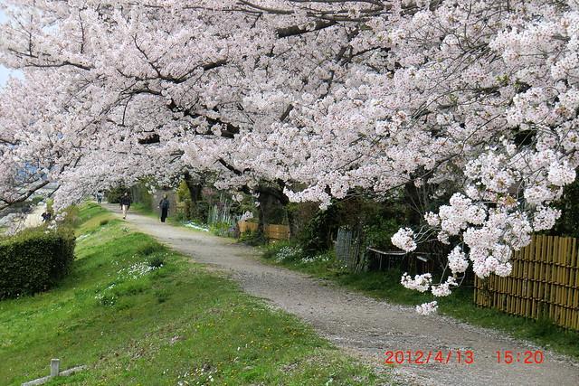 Kamogawa sakura 6
