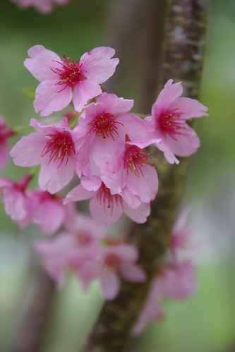 恩愛農場—霧裡看櫻花