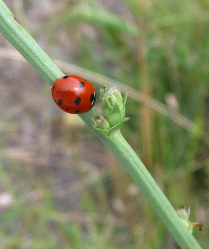 What language to ladybugs speak?