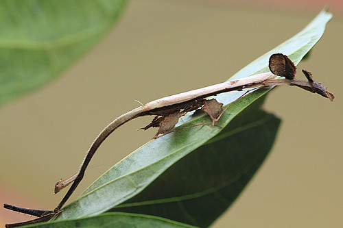 Toxodera hauseri, feather mantis