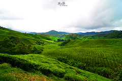 Cameron Highlands [MY]