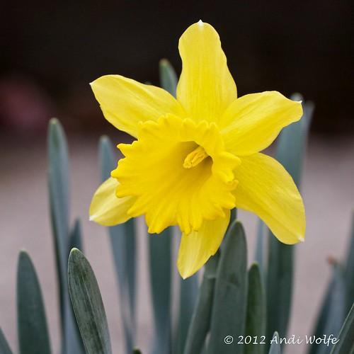Daffodil  by andiwolfe